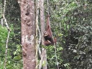 Nama orangutan dia 'Baka'